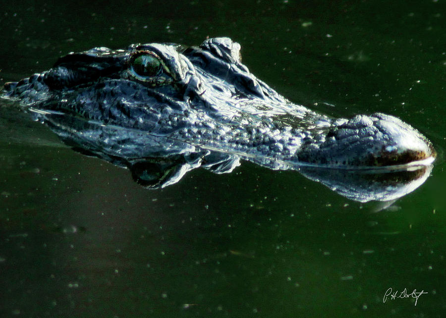 Alligator Photograph - Gator by Phill Doherty