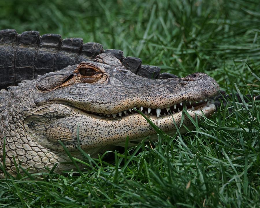 Alligator Photograph - Gator Smile by Ernie Echols