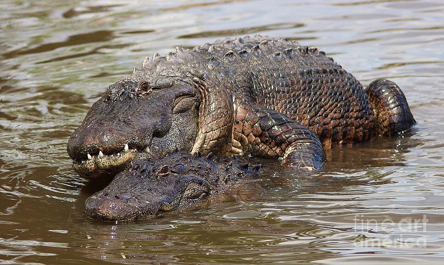 Gators Mating Photograph By Paulette Thomas