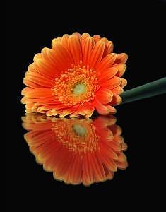 Floral Photograph - Gazania by Dave Montero