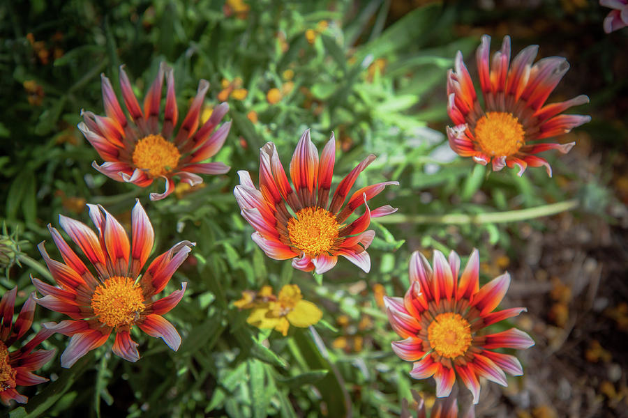Gazania Flowers Photograph by Rich Isaacman