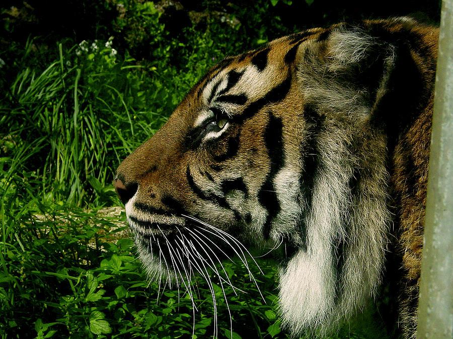 Tiger Photograph - Gaze Of The Tiger by Edan Chapman
