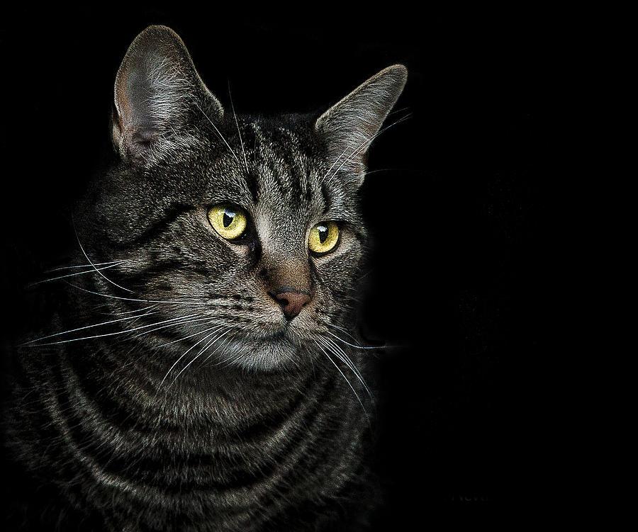 Cat Photograph - Gaze  by Paul Neville