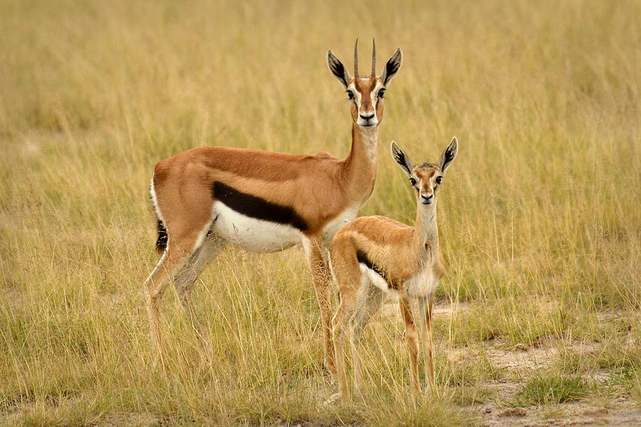 Gazelle Mother And Child Photograph By Jack Daulton