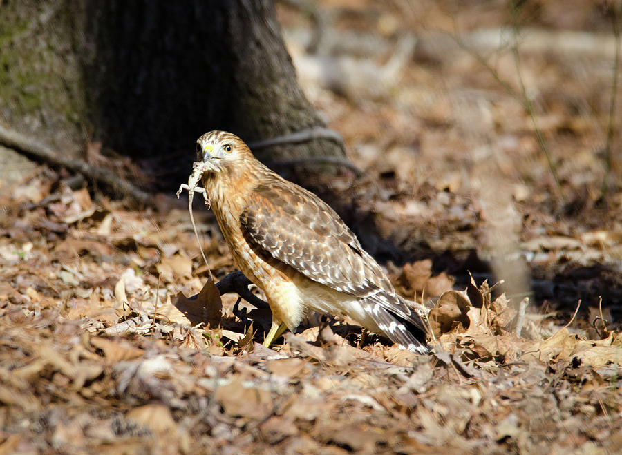 Hawk Photograph - Gecko For Lunch by George Randy Bass
