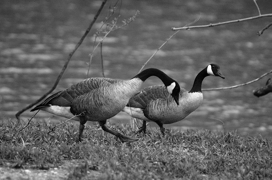 Canadian Geese Photograph - Geese - 001 by Paul Farrier
