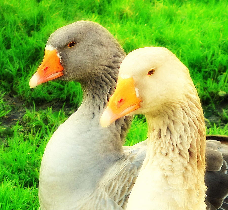 Goose Photograph -  Geese Have Strong Affections For Others In Their Group by Hilde Widerberg