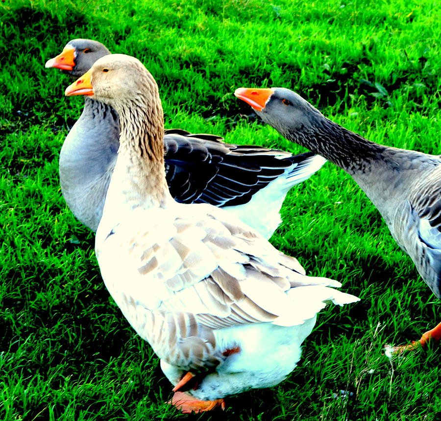Goose Photograph -  A Couple Of Friendly Geese And One Goose Ready For A Fight  by Hilde Widerberg