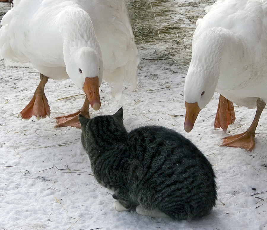 Barn Cat Photograph - Geese Double Team The Barn Cat by Laurie With