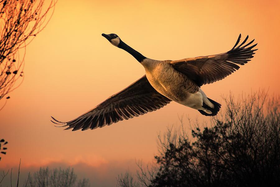 Departing Photograph - Geese Fly By by Jeff S PhotoArt