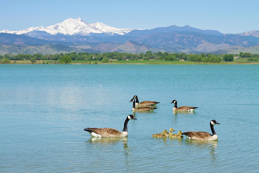 Mcintosh Lake Photograph - Geese Goslings And The Twin Peaks - Longs And Meeker by James BO Insogna