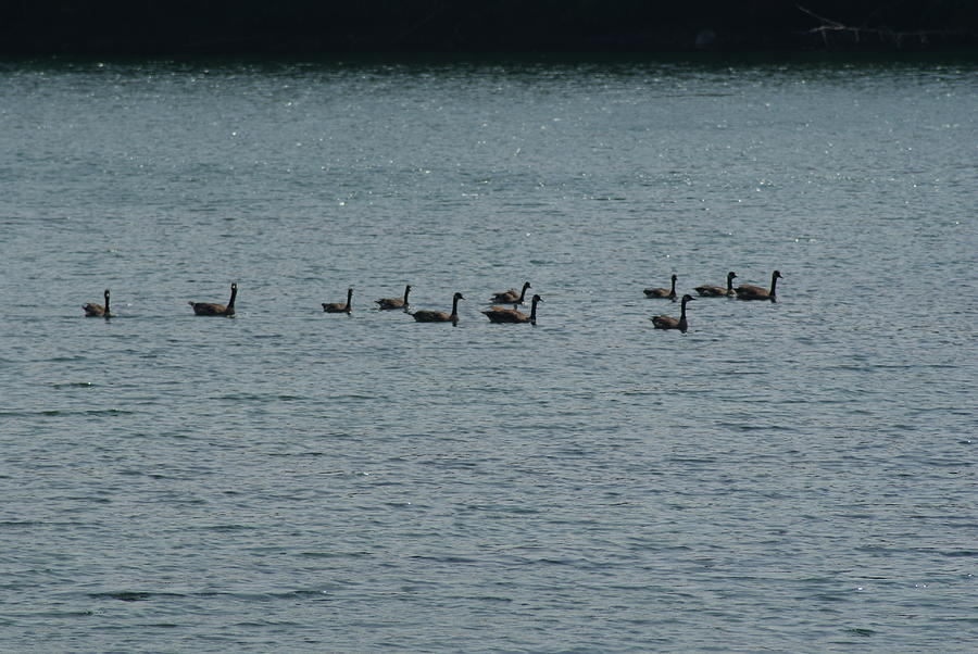 Birds Photograph - Geese by Heather Green