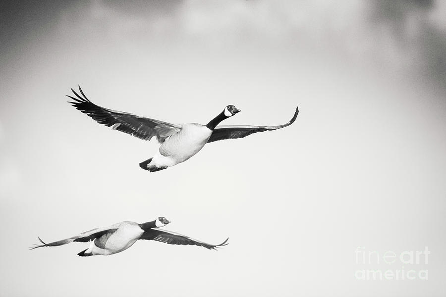 Geese In Flight Photograph - Geese in Flight by Michael McStamp