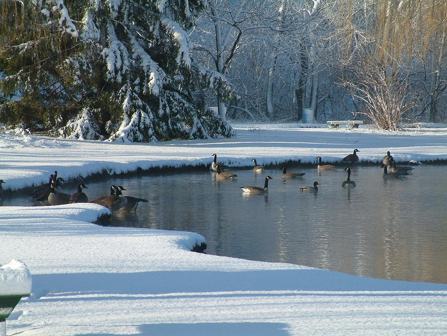 Pond Photograph - Geese On Pond by Gregory Jeffries