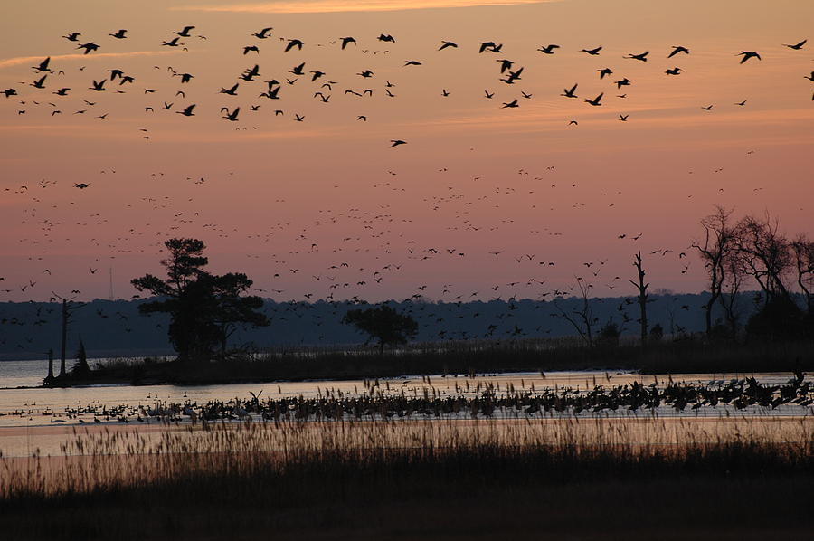 Chesapeake Bay Photograph - Geese On The Rise by Marc Van Pelt