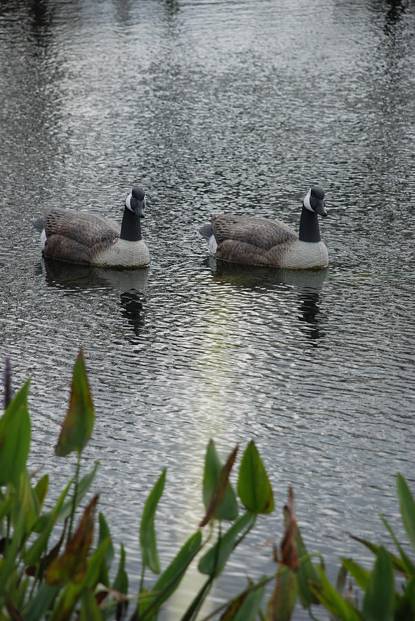 Water Photograph - Geese by Rob Hans