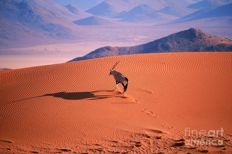 Gemsbok Photograph - Gemsbok by Eric Hosking and Photo Researchers