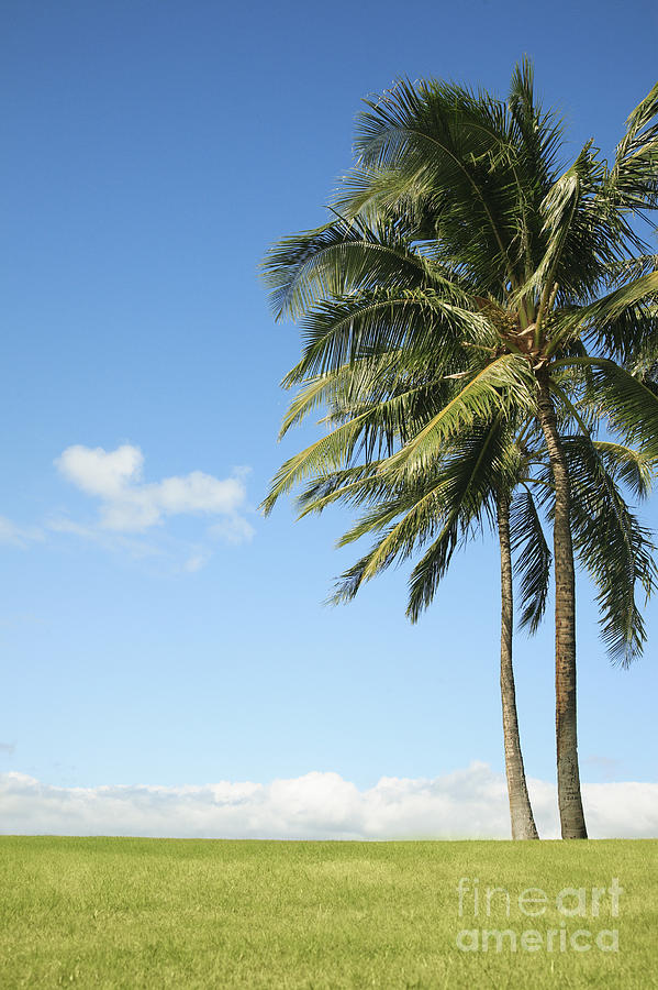 Background Photograph - Generic Palm Tree by Brandon Tabiolo - Printscapes