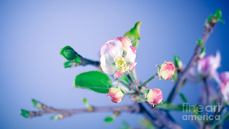 Agriculture Photograph - Gentle Apple Tree Flowers by Anna Om