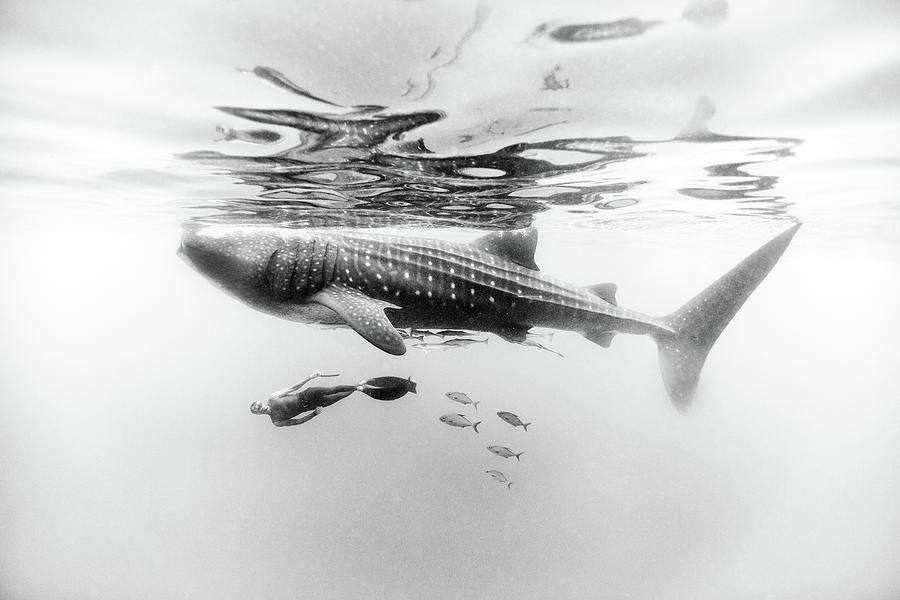 Freediving Photograph - Gentle Giant by One ocean One breath
