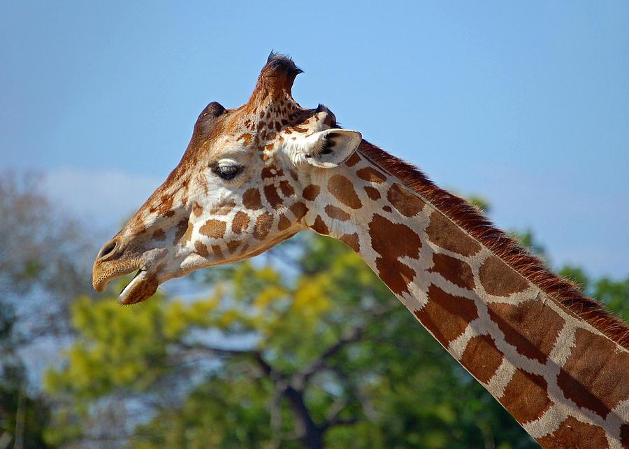 Giraffe Photograph - Gentle Giraffe by Donna Proctor