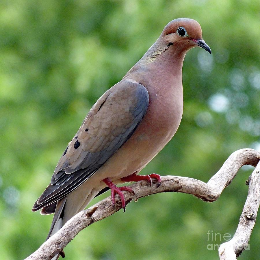 Gentle - Mourning Dove Photograph