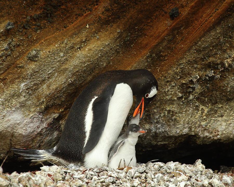 Penguin Photograph - Gentoo Penguin Feeding Chicks by Bruce J Robinson