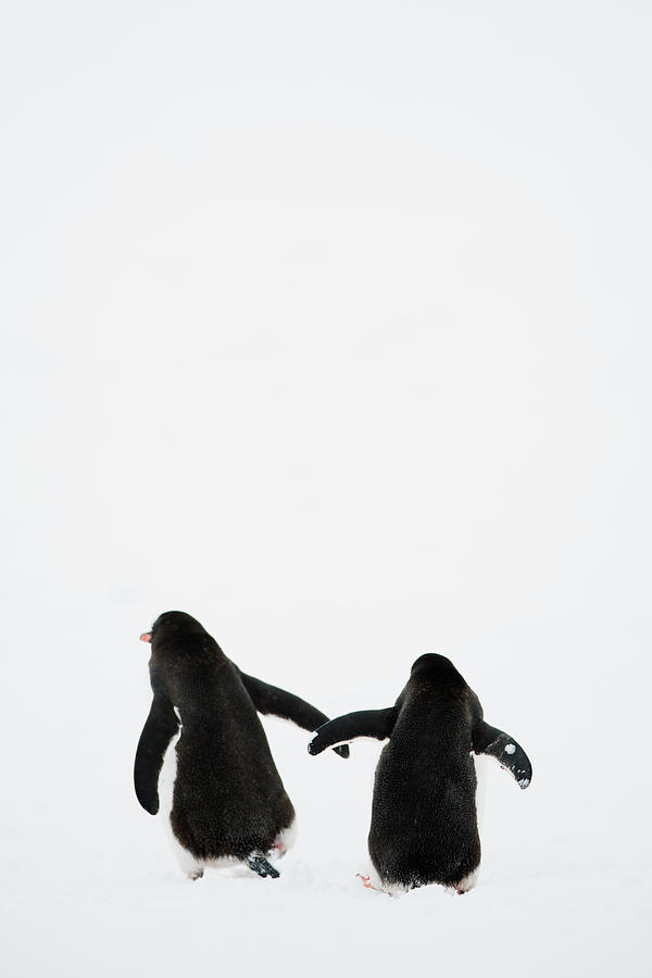 Vertical Photograph - Gentoo Penguin (pygoscelis Papua) by Elliott Neep