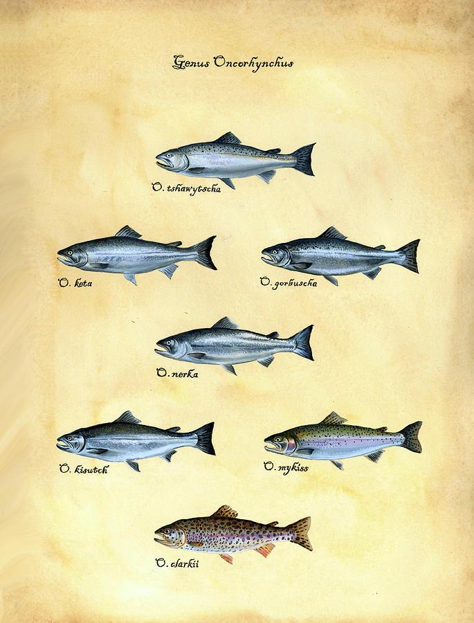 Salmon Painting - Genus Oncorhynchus by Logan Parsons