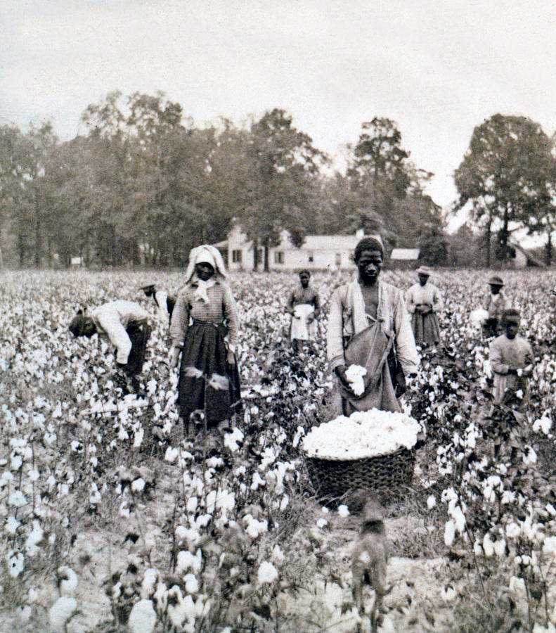 Georgia Photograph - Georgia Cotton Field - C 1898 by International  Images