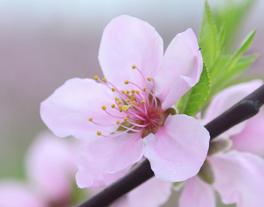 Georgia Peach Blossom by Glenn Grossman