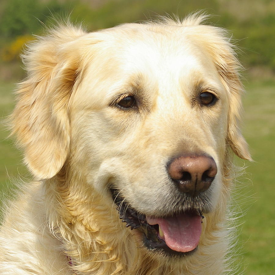 Golden Retriever Photograph - Georgie The Golden Retriever by Hilary Burt