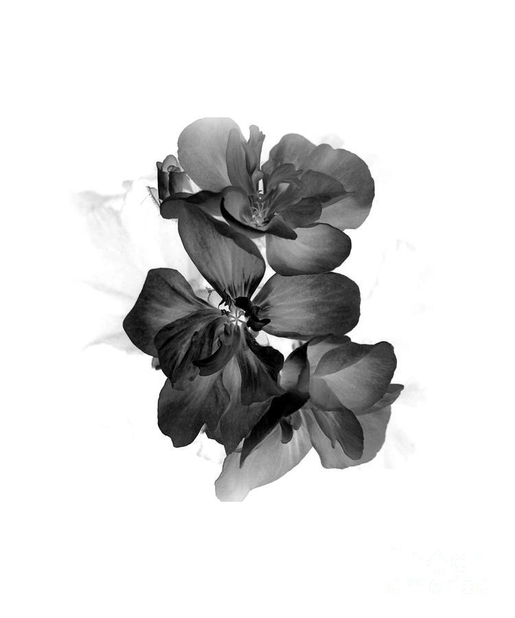 Flowers Photograph - Geranium Black by Ioanna Papanikolaou