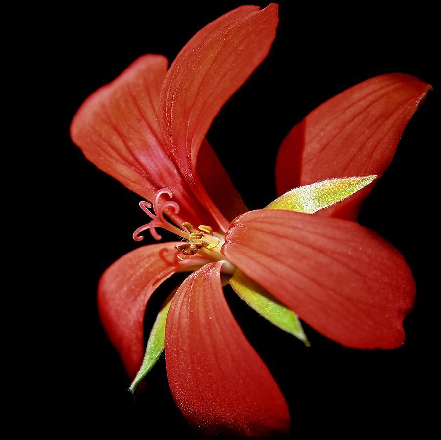 Flower Digital Art - Geranium Flower by FL collection