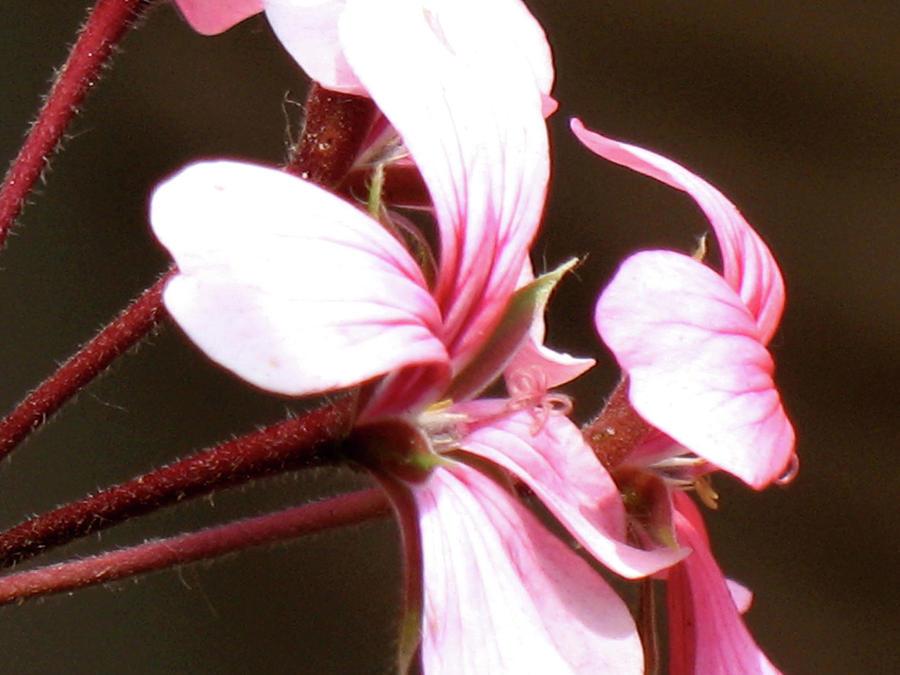Geranium Herb Robert Photograph by Christina Geiger