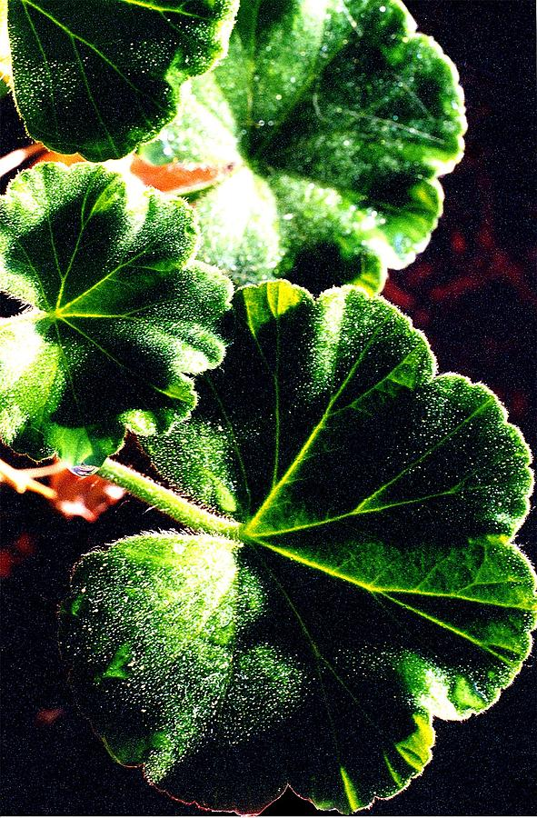 Geranium Leaves Photograph