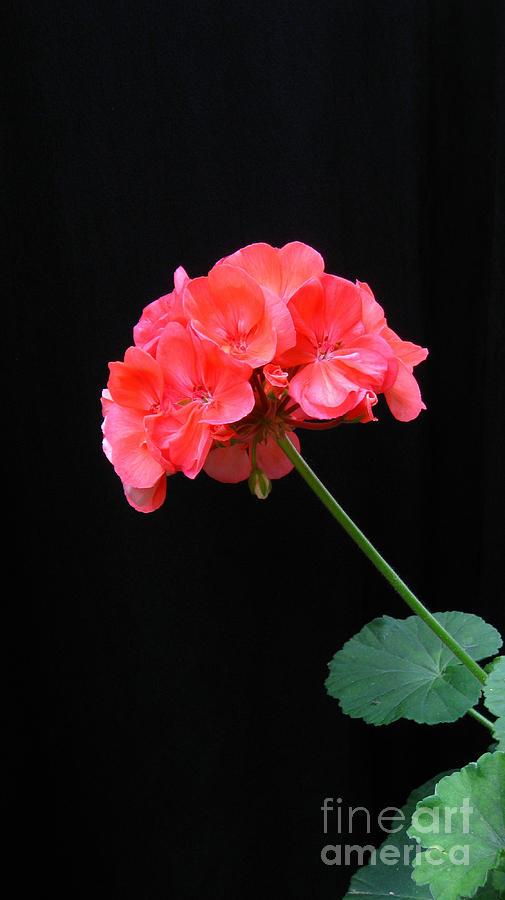 Geranium Photograph - Geranium by Linda Vespasian