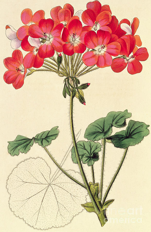 Plant Painting - Geraniums by Leopold Trattinick