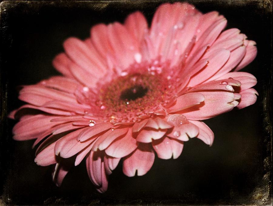 Gerber Daisy Photograph - Gerber by Cathie Tyler
