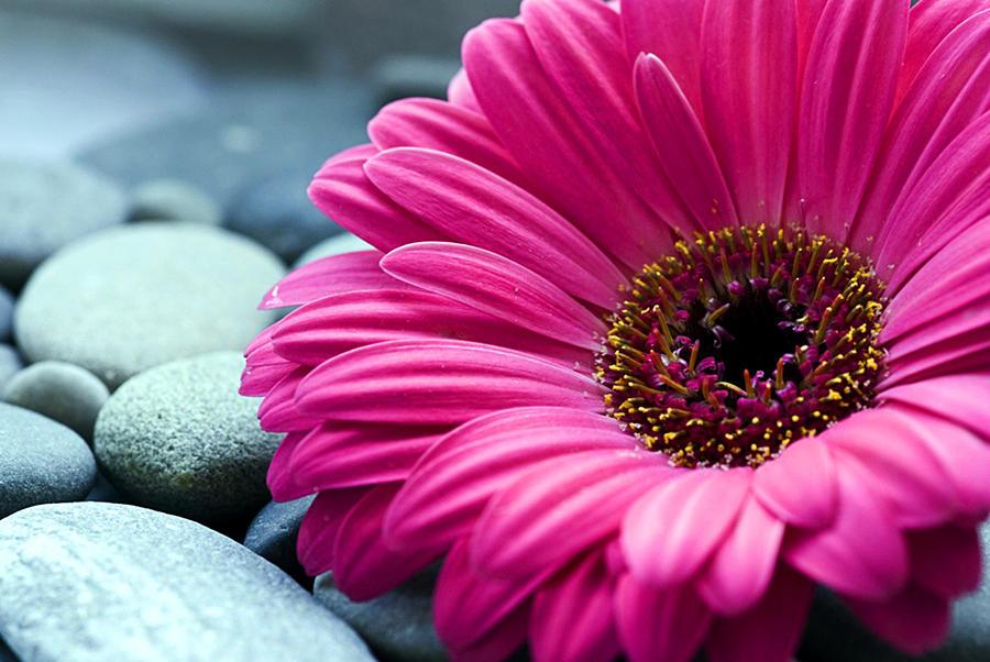 Gerber Photograph - Gerber Daisy In Pebbles by Helen Stapleton
