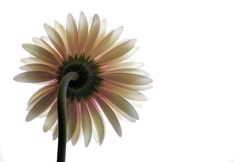 Flower Photograph - Gerber Daisy by Jessica Wakefield