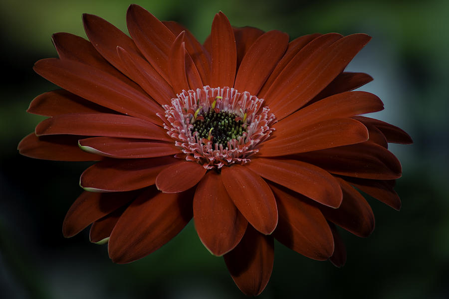 Red Photograph - Gerber Daisy by Rod Sterling