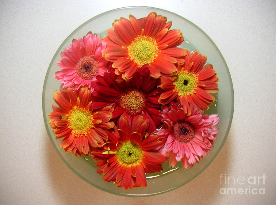 Nature Photograph - Gerbera Daisies - From Above by Lucyna A M Green
