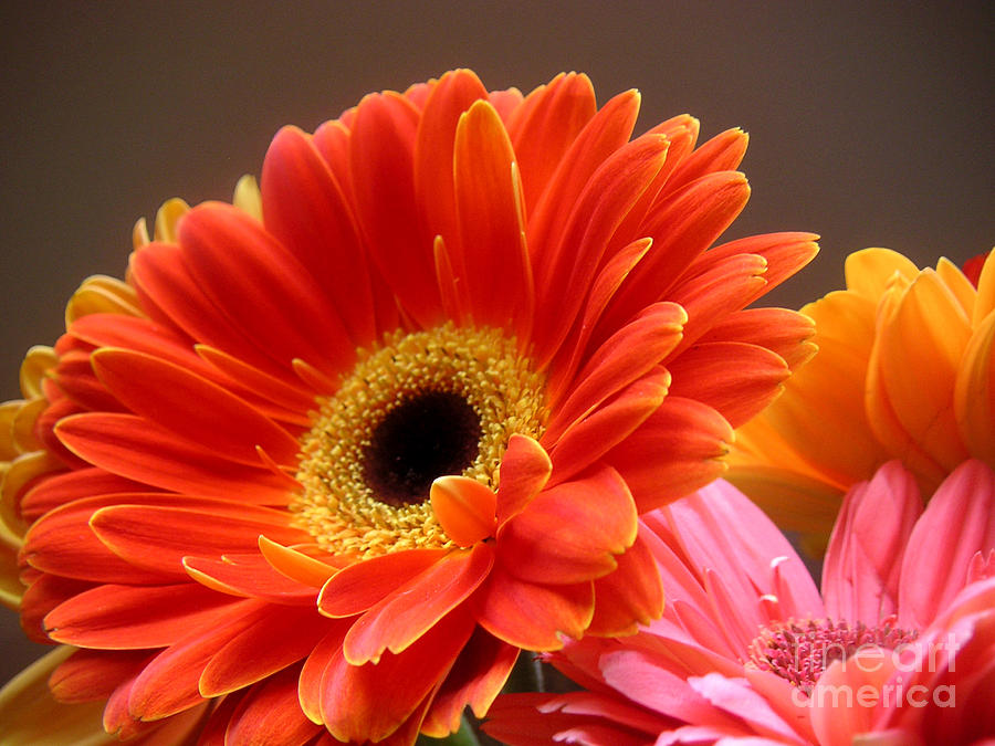 Nature Photograph - Gerbera Daisies - Luminous by Lucyna A M Green