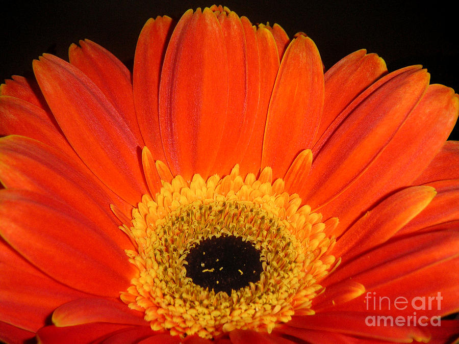 Nature Photograph - Gerbera Daisy - Glowing In The Dark by Lucyna A M Green