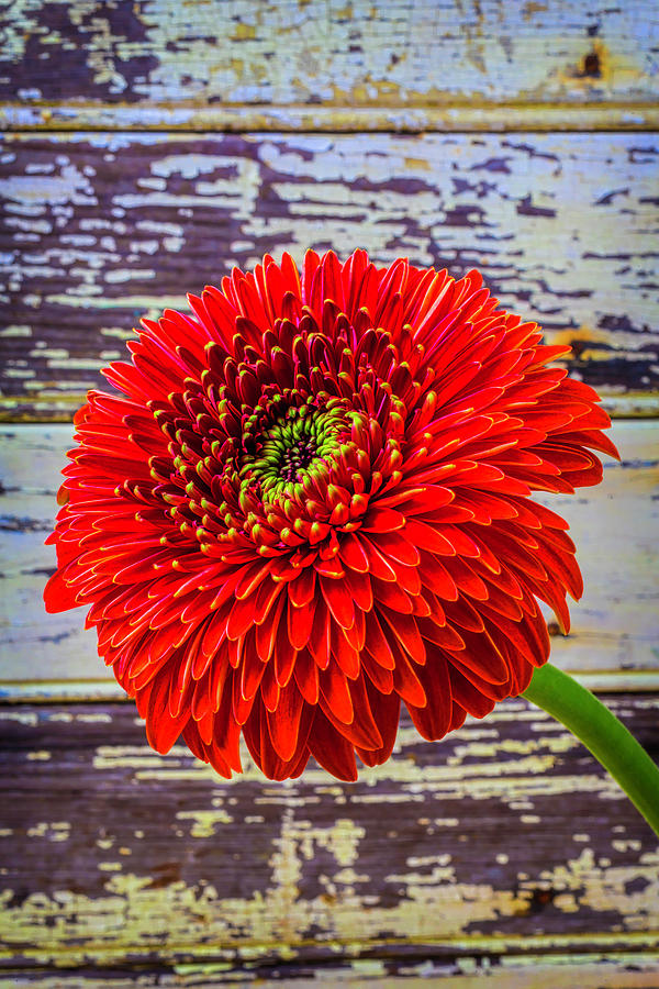 Mood Photograph - Gerbera Daisy Against Old Wall by Garry Gay