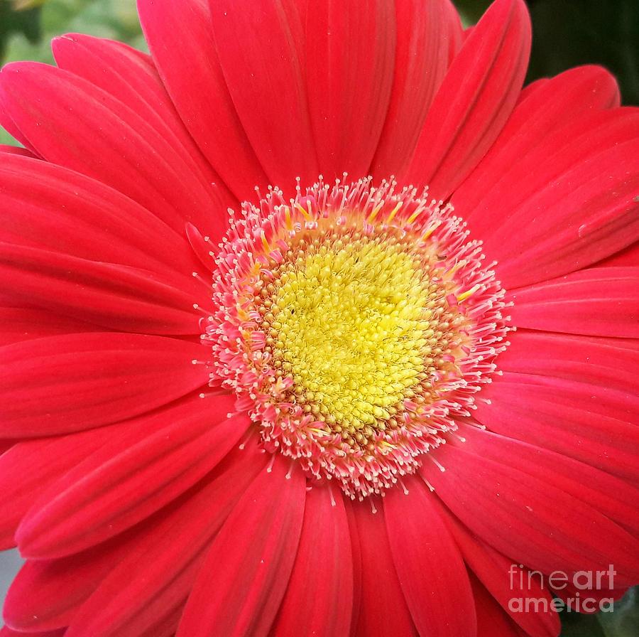 Gerbera Daisy with Heart by Tracy Ruckman