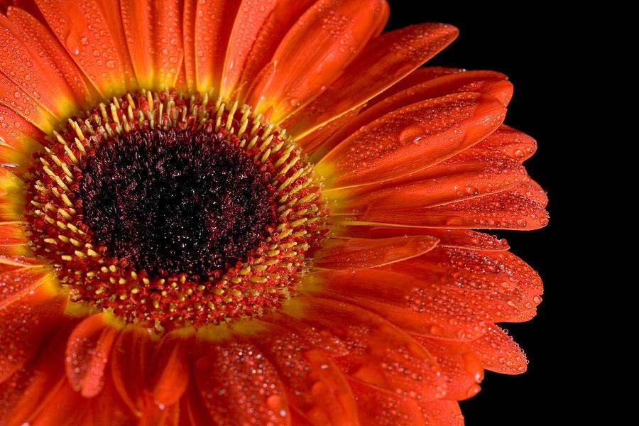 Flower Photograph - Gerbera I by Peter OReilly
