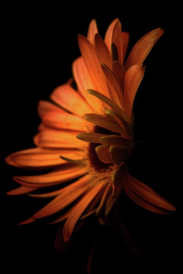 Daisy Digital Art - Gerbera Set on Black by Terry Davis