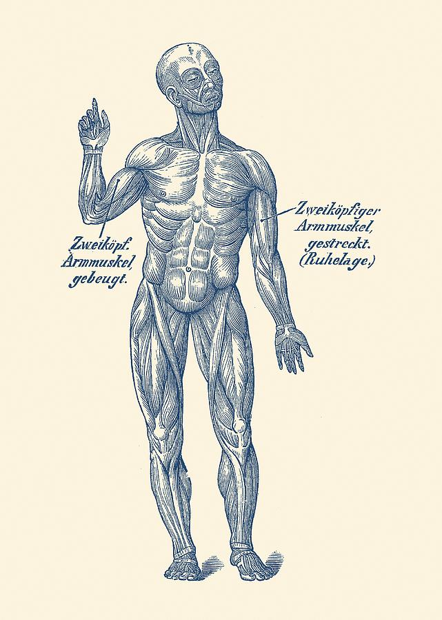 German Diagram Arm Muscular System Vintage Anatomy Drawing